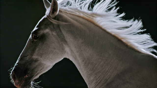 slo mo ts white horse in gallop on black background - pelo animale video stock e b–roll