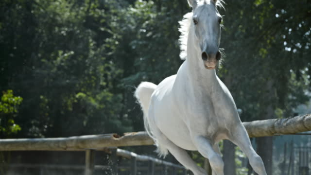 slo mo ld cavallo bianco al galoppo - equino video stock e b–roll