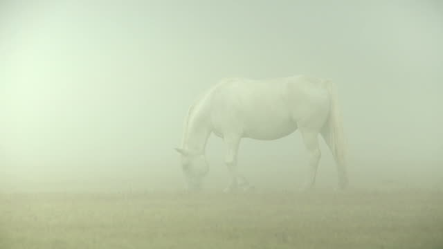 White horse in the morning mist