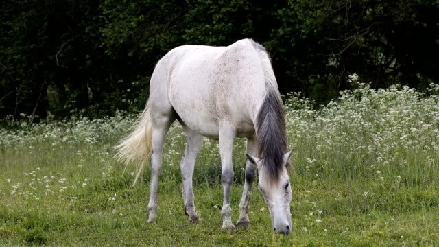 white horse is grazing in a spring meadow - cavallo purosangue video stock e b–roll