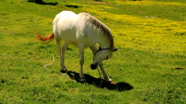 White horse on a spring pasture