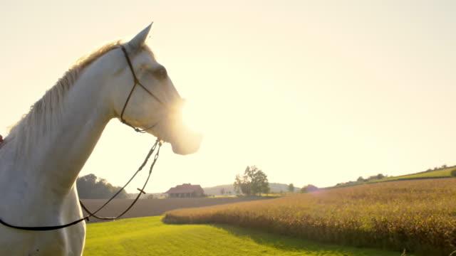 замедленная съемка белая лошадь на пастбище - животноводство стоковые видео и кадры b-roll