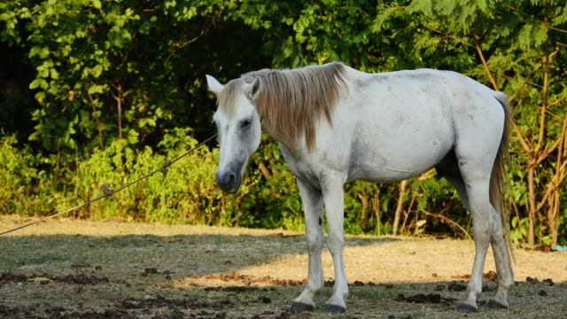 white horse standing in alone being tethered. - cavalla video stock e b–roll