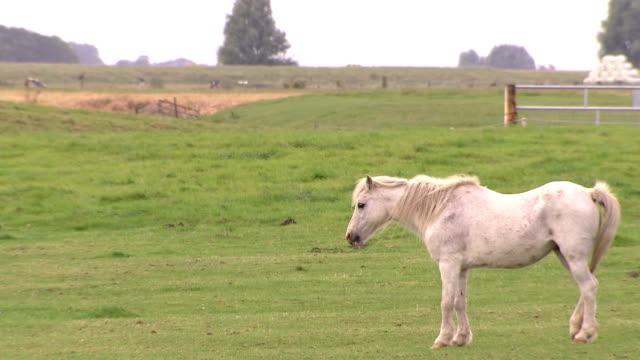 White horse standing on grasslands