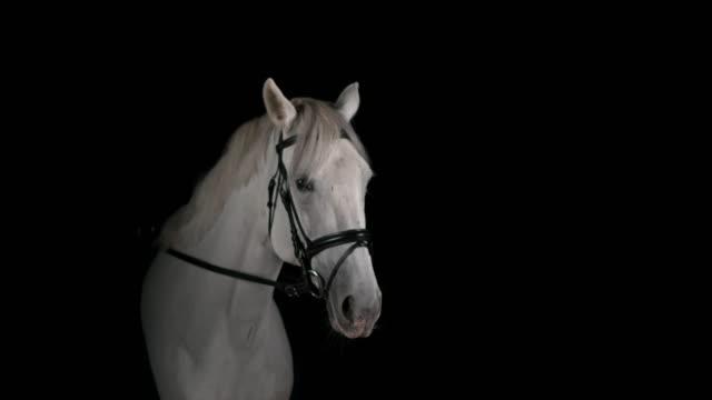 vidéos et rushes de slo mo cheval blanc à partir du fond noir - dressage équestre