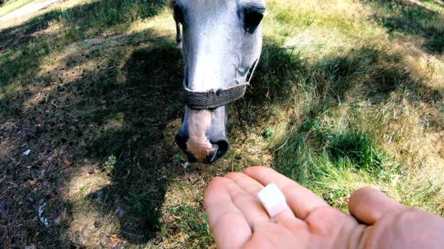 White horse. The horse eats sugar
