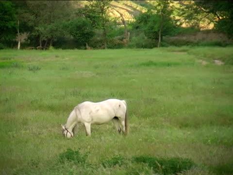 white horse  - pferdeartige stock-videos und b-roll-filmmaterial