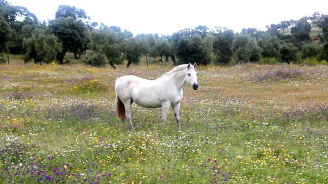белая лошадь - нивяник стоковые видео и кадры b-roll