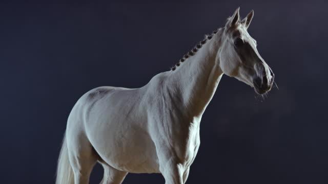 slo mo vit häst promenader på natten - racehorse track bildbanksvideor och videomaterial från bakom kulisserna