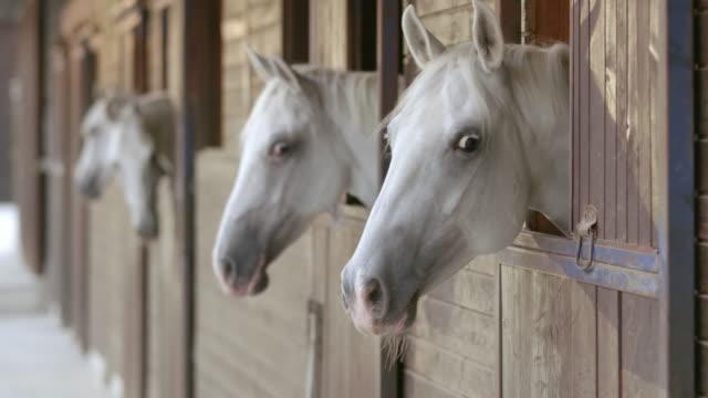 LD White horses peeking through the stable windows video