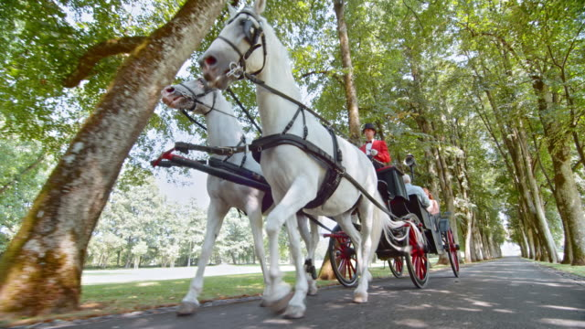 TS White horses pulling a carriage through the park