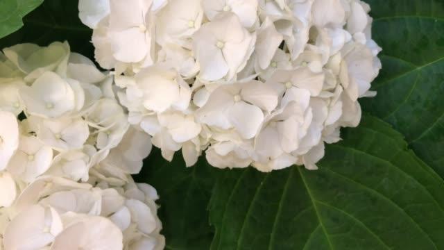 stockvideo's en b-roll-footage met witte hortensia op boom - hortensia