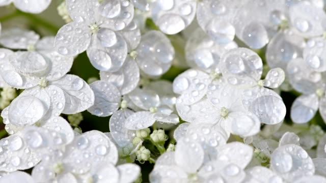 weiße hortensien sprühen durch wasser - hortensie stock-videos und b-roll-filmmaterial