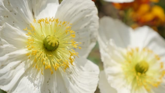 white iceland poppy boreal flowering plant close-up details 4k - orticoltura video stock e b–roll