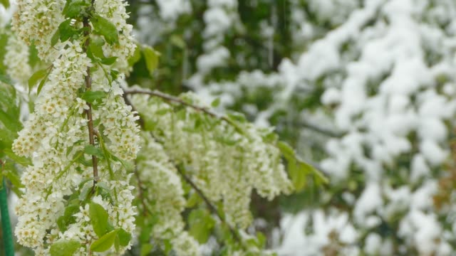White inflorescences freeze during a snowfall video