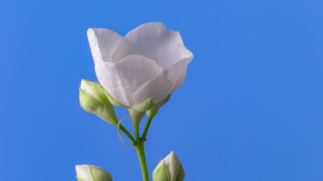 weiße jasmin blume blüht in einem 4k zeitraffer-video auf einem blauen hintergrund. zeitraffer von jasminum in bewegung. - rorating weiße blume. - jasmin stock-videos und b-roll-filmmaterial