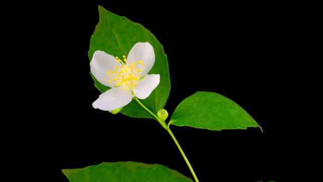 weiße blume jasmin eröffnung - jasmin stock-videos und b-roll-filmmaterial