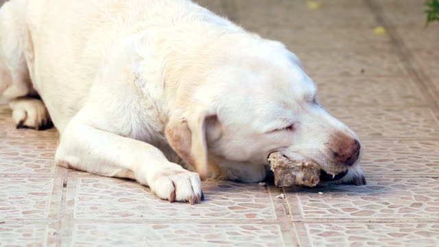 white labrador dog scrunching pig bones video