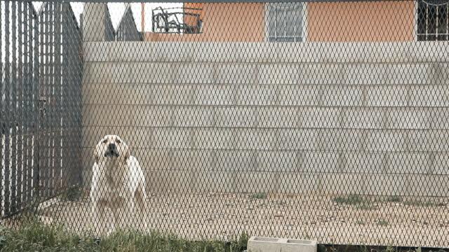 White Labrador Retriever Dog barking behind Fence.