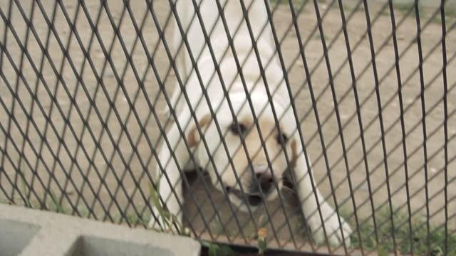 White Labrador Retriever Dog behind a Fence.