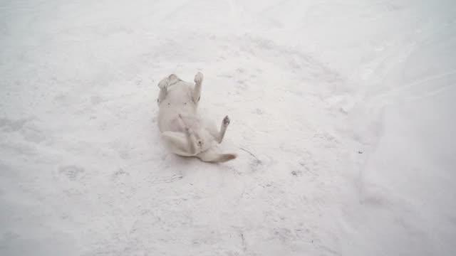 a white labrador retriever dog playing on the snow - łapa filmów i materiałów b-roll