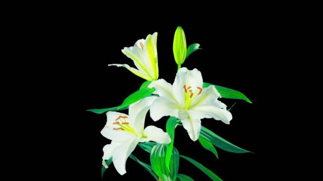 white lilies blossom, time-lapse with alpha channel - lilia filmów i materiałów b-roll