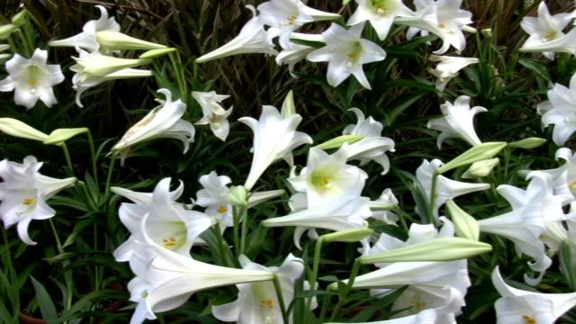 biały liliowate - lilia filmów i materiałów b-roll