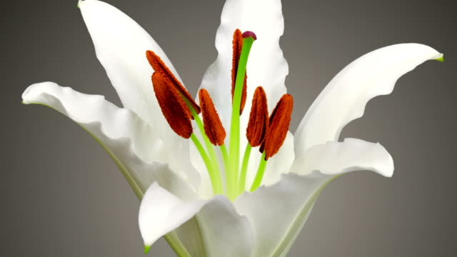 White Lily Time Lapse video