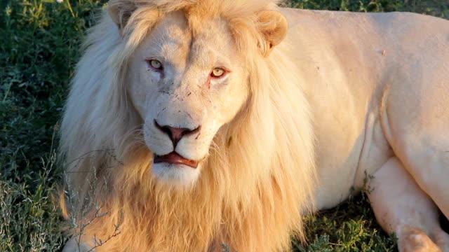 野生の自然で白いライオン。 ビデオ
