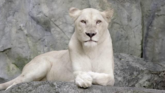 ライオンのクローズアップのポートレート ビデオ