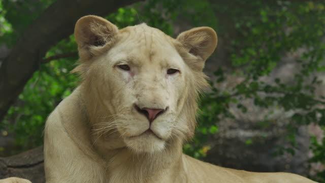 ホワイトのライオンます。 ビデオ