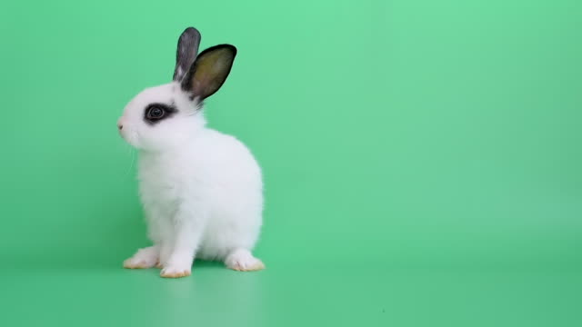 vídeos de stock e filmes b-roll de white little adorable bunny rabbit stands and clean its foot on green screen or background - fofo texturizado
