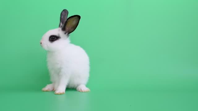 beyaz küçük sevimli tavşan tavşan standları ve yeşil ekran veya arka plan üzerinde ayağını temiz - tavşan hayvan stok videoları ve detay görüntü çekimi
