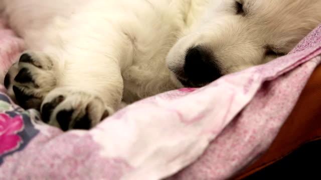 white little dog sleeping - cane addestrato video stock e b–roll