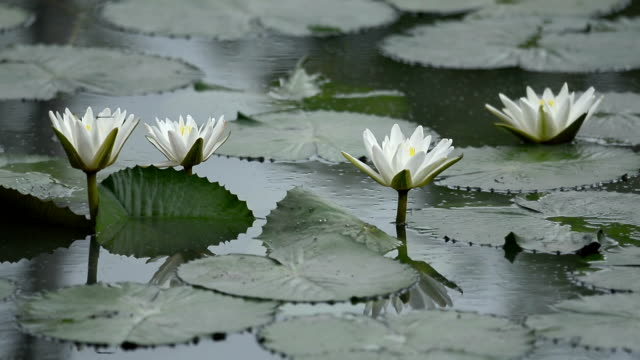 White lotus flower blooming in the pond video