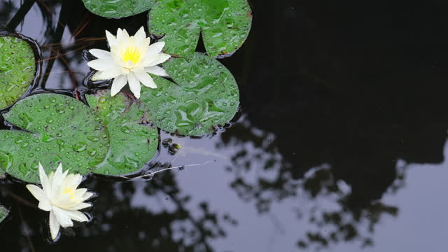 white lotus flowers with lotus leaf in pond