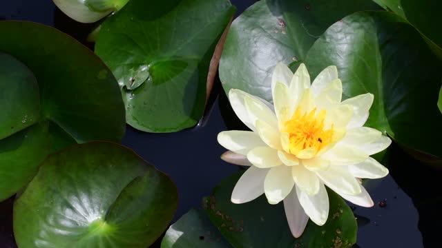 水面に咲く白い蓮のスイレン花 - 清らか点の映像素材/bロール