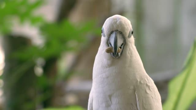 vidéos et rushes de oiseau blanc d'ara mangeant le harimon dans le fond de nature - bec