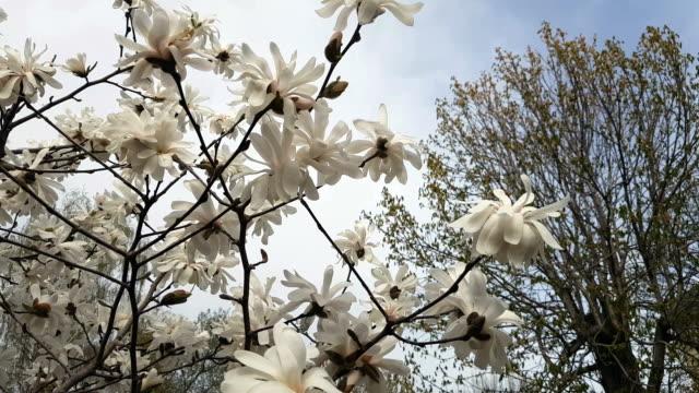 White magnolia blossom in the city park video