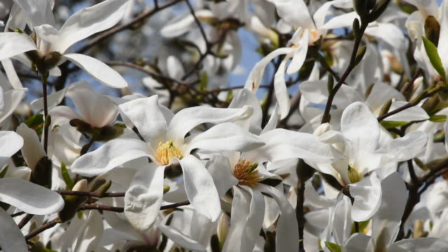 White magnolia flowers in the wind, close up video