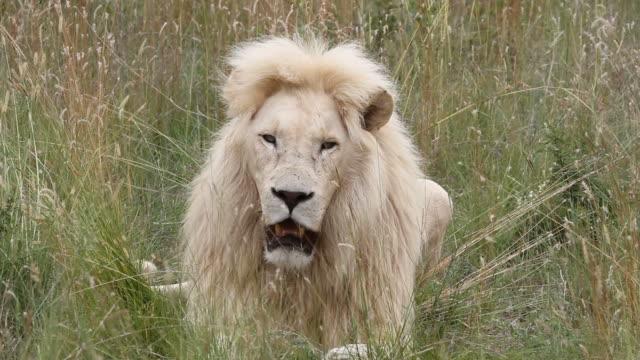 vídeos de stock e filmes b-roll de white male lion yawning. he then gets up and walks off. - felino