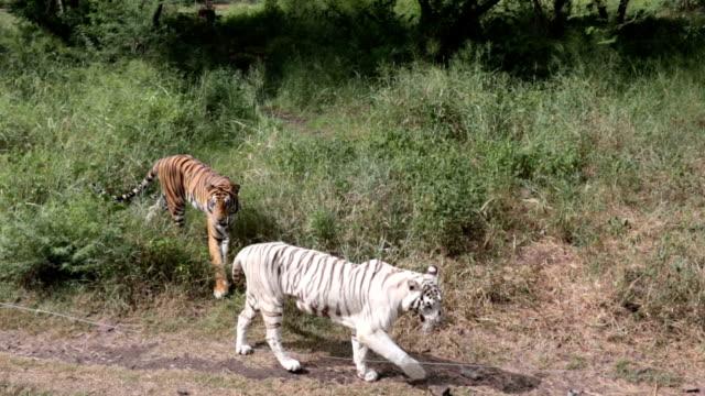 森の小道を歩いている白人男性虎、自然の生息地で野生動物 - 自生点の映像素材/bロール