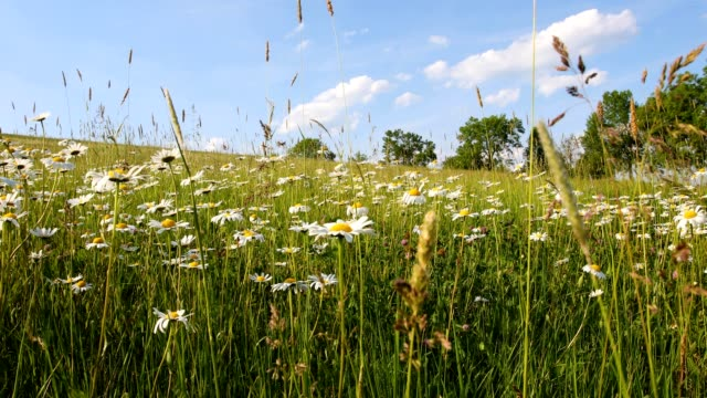 white marguerite or daisy flower on meadow in springtime breeze video