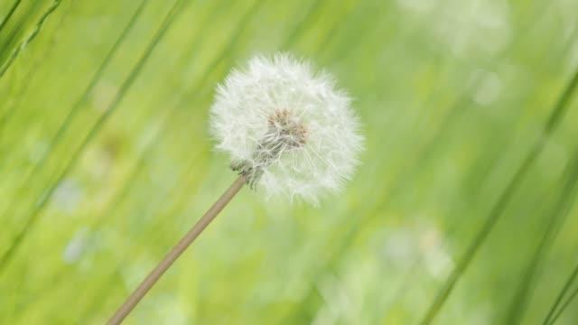 beyaz olgun karahindiba çiçeği alan doğal arka plan 4k 3840 x 2160 uhd görüntüleri - yalnız karahindiba çiçek tomurcuk içinde yeşil çim 4k 2160p 30fps ultrahd video - üreme organı stok videoları ve detay görüntü çekimi