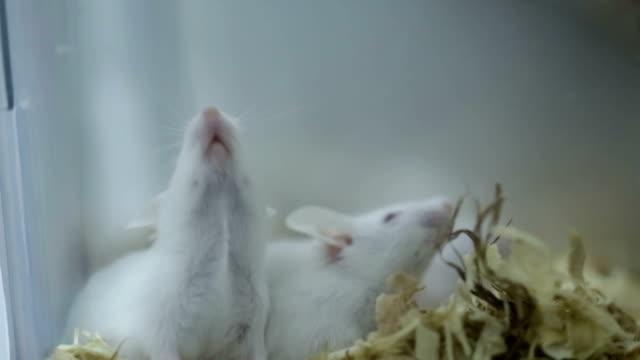 vídeos de stock e filmes b-roll de white mice grow in cage in lab - experiência científica