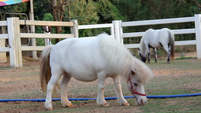 White miniature pony horse eating grass video