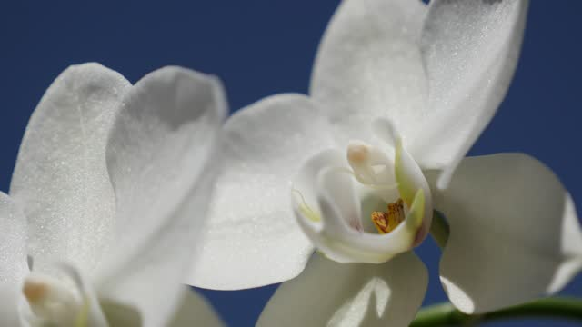White Moth orchid plant outdoor 4K