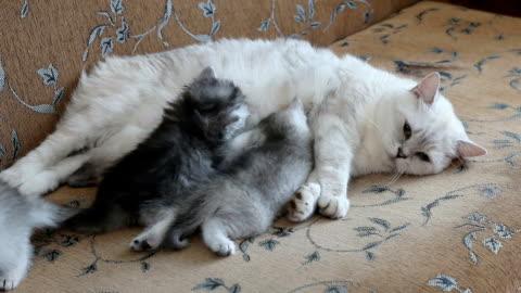 beyaz anne kedi hemşirelik ve emziren bebekler kedi yavrusu, yakın çekim - memeli stok videoları ve detay görüntü çekimi