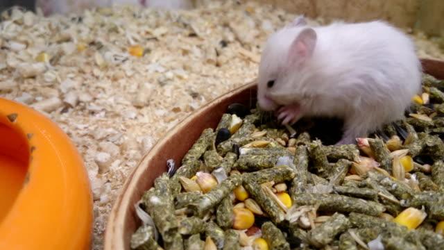 vidéos et rushes de souris blanche mangeant dans le terraria - apprivoisé