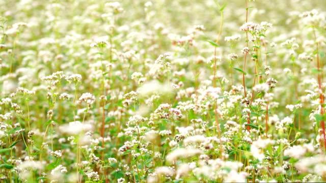 MS ZO, white mustard flower field in nature video